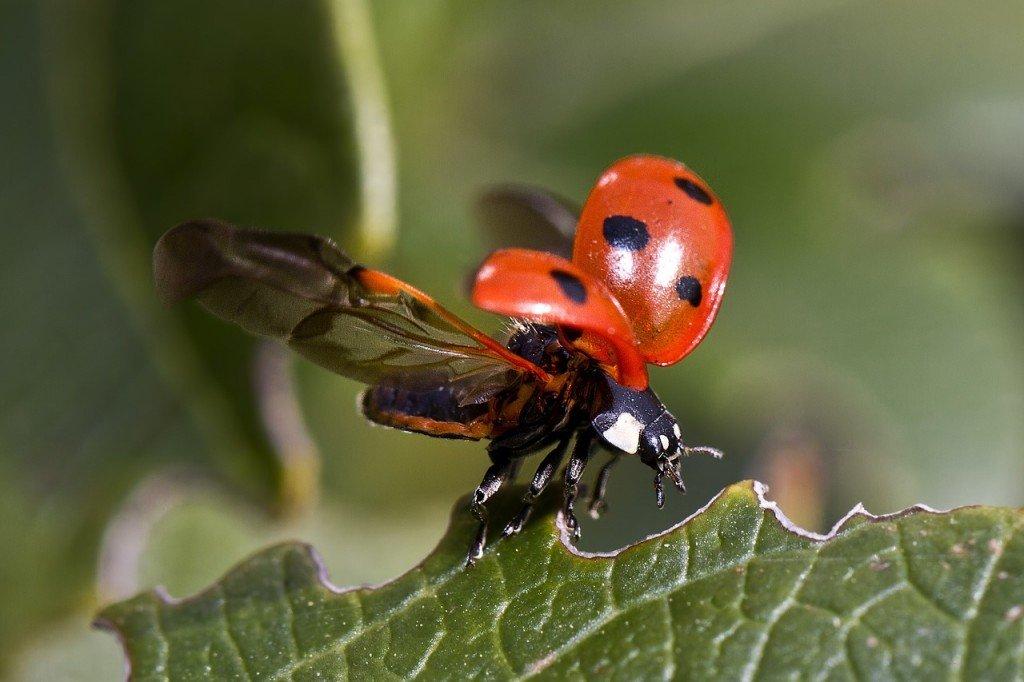 ladybug-743562_1280